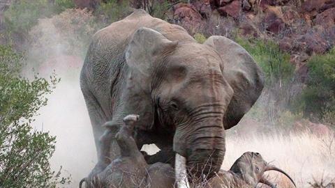Voi điên tấn công, tê giác mẹ chịu chết để cứu con