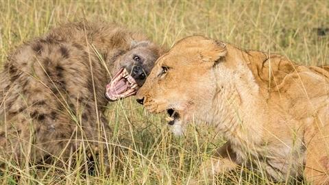 Cướp của sư tử bất thành, linh cẩu bất ngờ gặp may