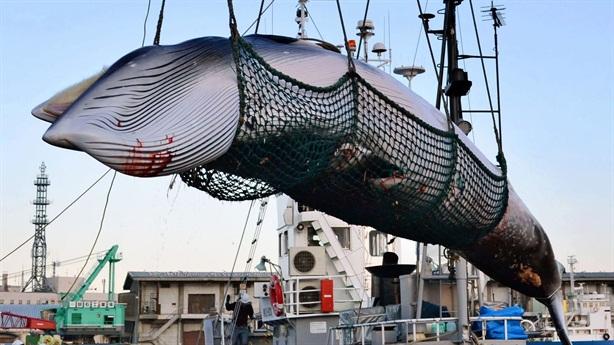 Lý do Nhật Bản tiếp tục săn bắt cá voi thương mại