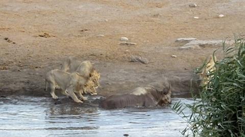 Trượt chân, tê giác mang bầu suýt làm mồi cho sư tử