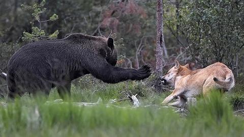 Đang ăn, gấu bị đàn sói tấn công và kết bất ngờ