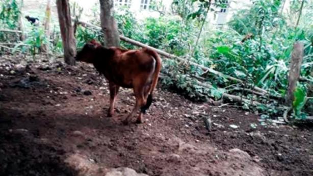 Người nghèo từ chối nhận bò vì không có tiền đối ứng