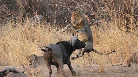 Vừa mới 'yêu', đôi sư tử bị trâu điên phá bĩnh