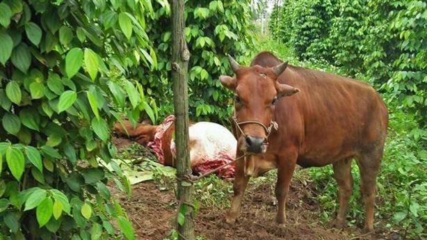 Xóm xẻ thịt bò lạc chia nhau: Không có cán bộ thôn