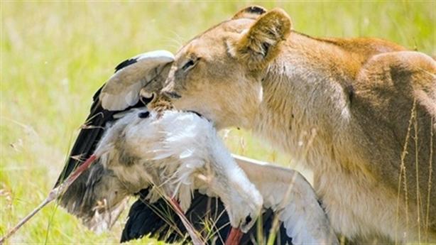 Đường cùng, sư tử mẹ săn cò nuôi con đói khát