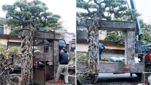 Mua cây bê luôn cổng: Sự thật 6.000 USD