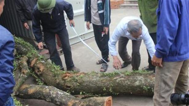 Vẫn loay hoay với trăm tỷ gỗ sưa