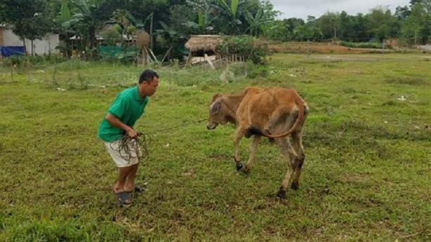 Vụ nghi cấp bò mang dịch cho người nghèo: 'Do thời tiết'