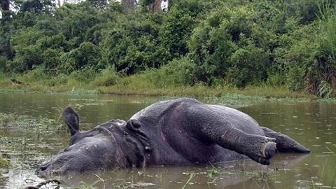 Từ chối 'yêu', tê giác cái bị hai bạn tình giết chết