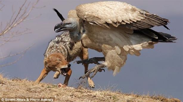 Cướp mồi của kền kền, chó rừng nhận hậu quả kinh hoàng