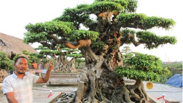 Thương vụ cây sanh 16 tỷ đồng: Đại gia phủ nhận