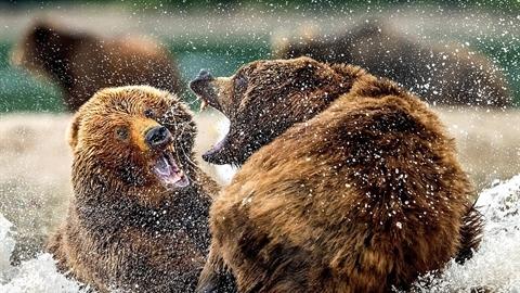 Gấu nâu đại chiến giữa hồ nước: Kết hụt hẫng