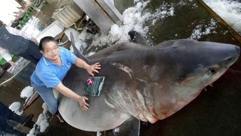 Mổ bụng cá mập trắng mang thai phát hiện điều xót xa