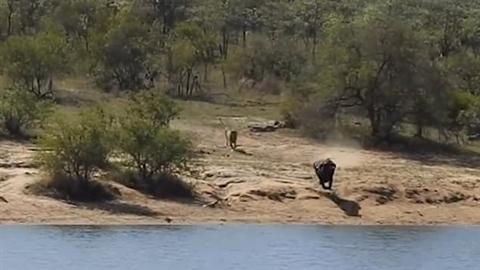 Trâu rừng già may mắn thoát cả sư tử lẫn cá sấu