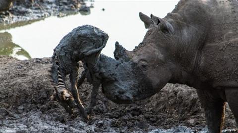 Tê giác tốt bụng vô tình lấy mạng ngựa vằn con