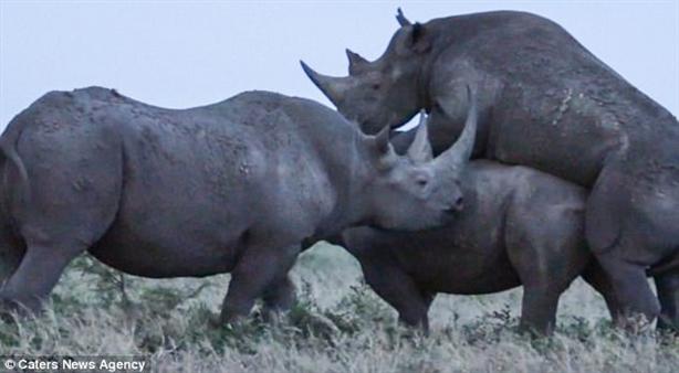 Tê giác hất tung tình địch đang giao phối: Kết ngỡ ngàng