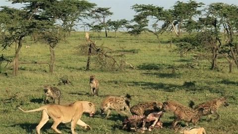 Sư tử đơn độc bị linh cẩu cướp mồi trắng trợn