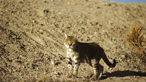 Tiêu diệt 2 triệu mèo hoang bằng xúc xích độc ở Úc