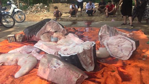 Xử lý những người xẻ thịt cá voi nhám ở Sầm Sơn