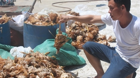 Trại gà bị tấn công, 1.200 con chết: Ném đá trúng chủ