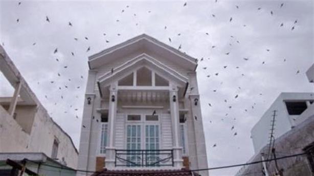 Khó xử lý nuôi chim yến tự phát tại khu dân cư