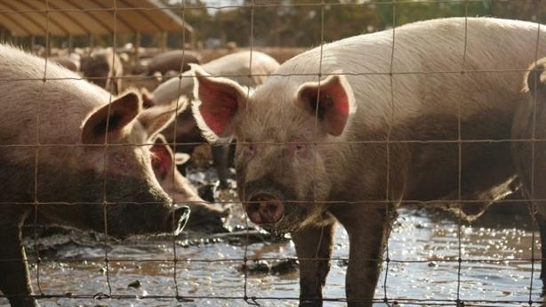Trung Quốc sắp có vaccine chữa dịch tả lợn châu Phi