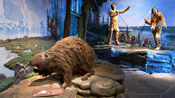 Phát hiện hải ly khổng lồ to ngang gấu đen
