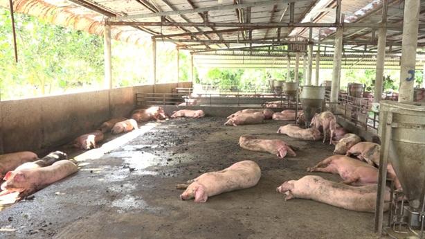 Cảnh báo xuất hiện vắc xin dịch tả lợn châu Phi giả