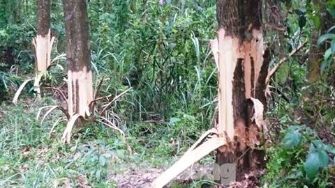Bí thư Đảng ủy phá cây của dân: Đã xin lỗi