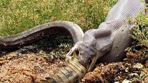 Trăn khổng lồ nuốt cá sấu to lớn dễ như chơi
