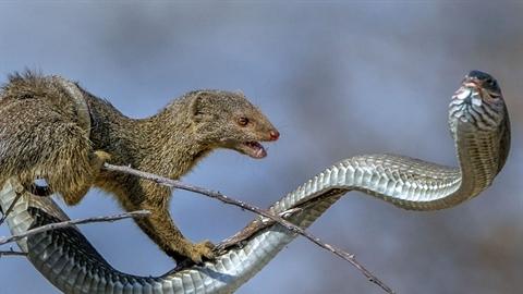 Gặp khắc tinh, rắn cực độc bất lực thành mồi ngon