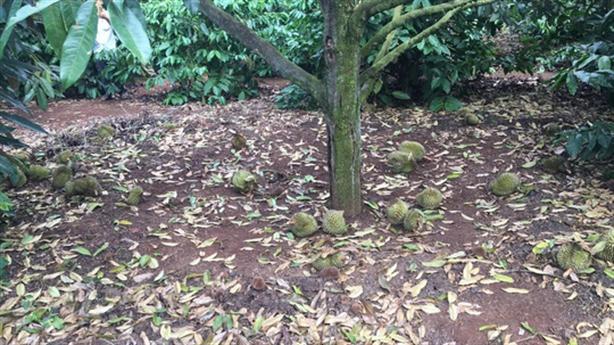 Bất ngờ nghi vấn chủ vườn vụ hàng tấn sầu riêng rụng