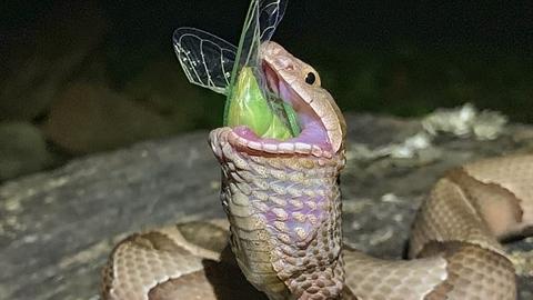 Nhiếp ảnh gia thất bại đuổi rắn độc cứu ve sầu
