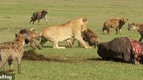 Sư tử ngậm ngùi bị linh cẩu cướp mồi