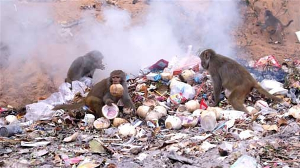 Khỉ Sơn Trà bới rác tìm thức ăn