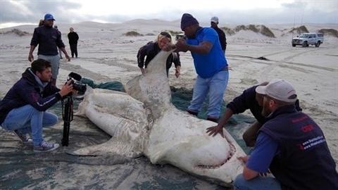 Cá mập trắng biến mất: Lộ sát thủ khổng lồ đáng sợ