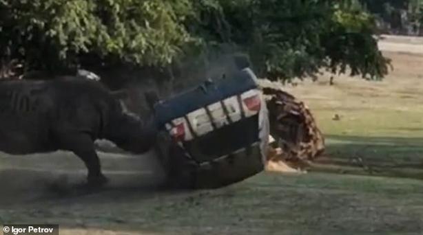 Tê giác điên phá nát ôtô có người lái: Kết bất ngờ