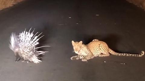 Con vật nhỏ khiến báo đốm tẽn tò nhận trái đắng