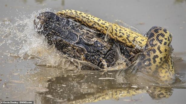 Trăn khổng lồ Anaconda và cá sấu kịch chiến: Kết ngỡ ngàng