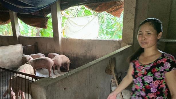 Lợn nhiễm tả châu Phi khỏe lại: Bất ngờ chất lạ