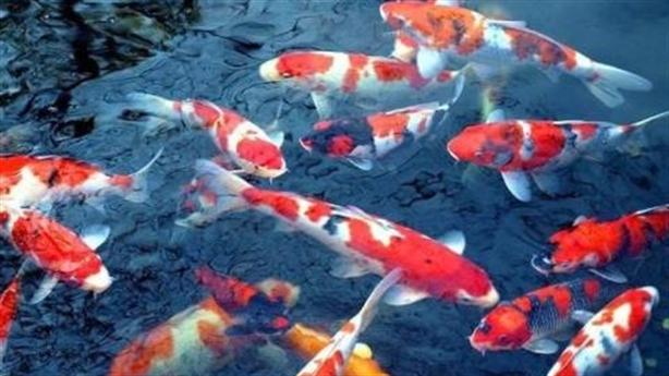 Thả cá Koi xuống sông