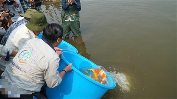 Thả cá Koi xuống sông Tô Lịch: Koi Việt hay Koi Nhật?