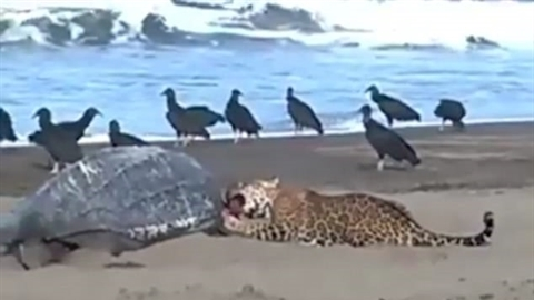 Báo đốm mò ra bờ biển chén thịt rùa khổng lồ