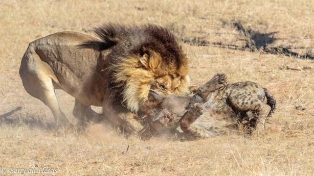Tẩn linh cẩu dở sống dở chết, sư tử bỗng bỏ đi