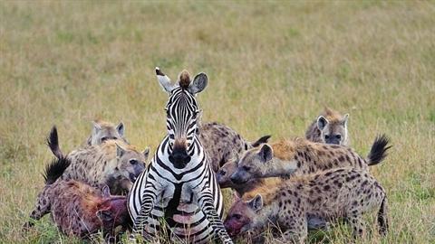 Ngựa vằn cái mang thai lọt giữa bầy linh cẩu: Kết buồn