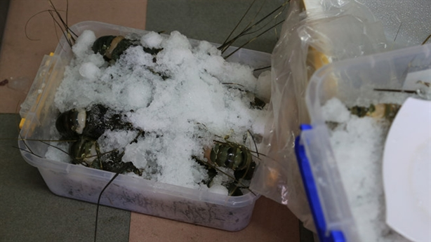 Đà Nẵng: Bơm thạch rau câu vào tôm hùm