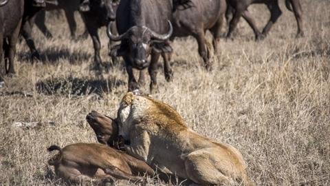 Ranh mãnh lừa cả đàn trâu, bầy sư tử 'mở tiệc' lớn
