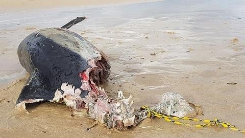 Cá heo bị cắn mất nửa người: Sát thủ khổng lồ?
