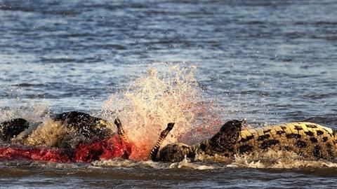 Gặp quái vật dưới nước, ngựa vằn tan xác trong phút chốc