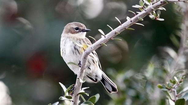 Biến đổi khí hậu khiến kích thước chim nhỏ dần đi